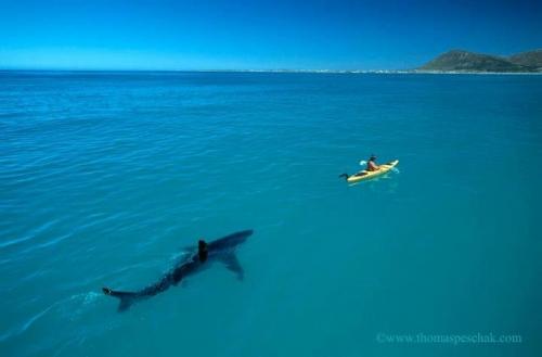 Белая акула и каяк / Изображения / Мир Адвайты