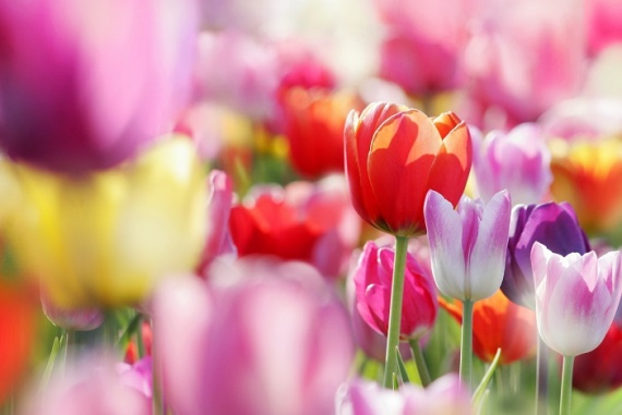 тюльпаны, праздник